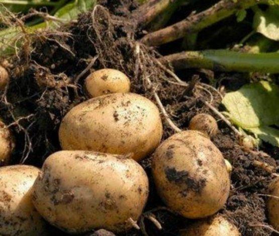 Министр картоп бағасының қымбаттауын алыпсатарларға ысыра салды